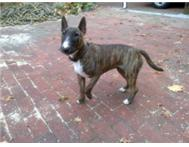 Young Brindle Bull Terrier