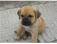 Male boerboel pup for sale - beautiful and cute as a button