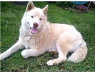 gorgeous malamute husky for adoption