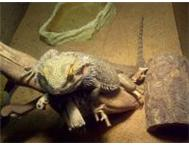 2 Bearded Dragons 2 Cages Accessories Pretoria