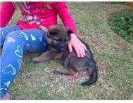 German Shepherd Puppies Quality Wor...