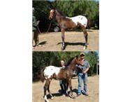 Kondos Royal Beauty - Tall Appaloosa Filly!