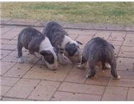 Bull Terrier Male Puppies
