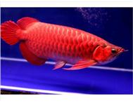 Aquarium Fish Arowana in Fish For Sale Mpumalanga Kruger National Park - Sabi Sands - South Africa