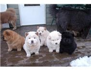 Adorable male and female Chow chow puppies for sal