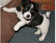 Jack Russell Terrier Puppies for Sale ! Pretoria