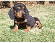 Miniature Dachshund Dapple (worshondjies) Puppies for sale!