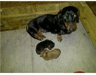 MINIATURE DACHSHUNDS