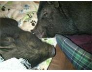 Two Gorgeous Potbelly Pigs for Adoption Durban