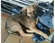 Male small-medium breed pup Chatsworth