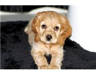 Adorable Cocker Spaniel puppy
