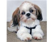 PURE-BREED SHIH TZU!