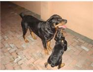Male Rottweiler looking for a female Rottweiler to mate