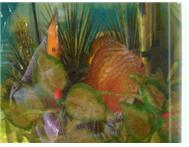 Tropical Fish Discus in Fish For Sale Western Cape Hartenbos - South Africa