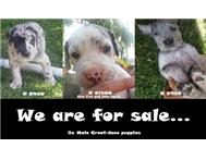 3x Male Great dane puppies for sale...
