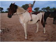 Weight carrier pinto gelding