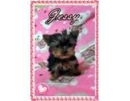 QUALITY HOME raised Registered Yorkshire Terriers available. Gauteng