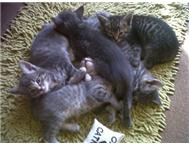 4 baby kittens as give away