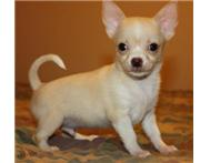 Type Full Chihuahua puppy in short hair