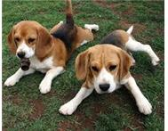 BEAUTIFUL BEAGLE PUPS FOR SALE