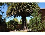 Two Big Palm Trees for sale