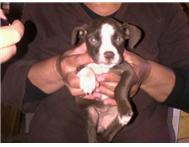 show pitbull puppy for sale