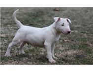 Bull Terrier puppies for sale to lo...