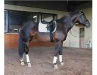 Warmblood dressage stallion for sal...