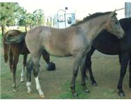 Boerperd x Warmblood colt HUGE and ... Ermelo