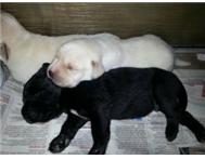 Labrador Pups for sale-Free bag puppy food-vaccinated &de-wormed