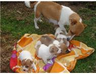 Male & Female Pedigree Jack Russell Terrier in Dogs & Puppies For Sale Western Cape George - South Africa