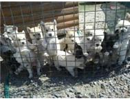 German Malamute Puppies - VERY URGENT