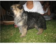 GERMAN SHEPHERD PUPPIES LONG HAIR 4...