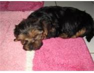 Just in time for easter! Teacup/Pocket size Yorkies For sale! Pretoria Gauteng