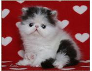Adorable Persian kittens ready for new homes