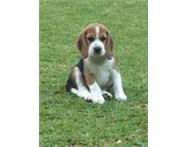 Top Quality Beagle Puppies For Sale
