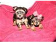 Champion pedigree Pre-spoiled teacup yorkies for sale Johannesburg