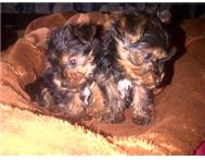 Male & Female Purebred Yorkshire Terrier in Dogs & Puppies For Sale Gauteng Randfontein - South Africa