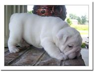 lovely english bull dog puppies for sale