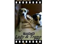 Male Various Jack Russell Terrier in Dogs & Puppies For Sale Western Cape Paarl - South Africa