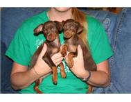 Miniature Pinscher For Pet Lovers
