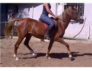Arab x boerperd mare for sale