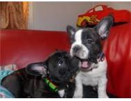 Magnificent French Bulldog Puppies Ready!
