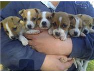 JACK RUSSEL PUPPIES R750