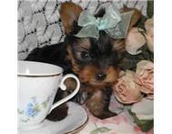Beautiful X Tiny Teacup Yorkies F...