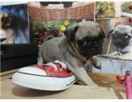 CUTE AND HOMETRAINED PUG PUPPIES FO...