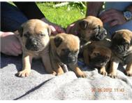 Affectionate Bull-mastiff puppies f...