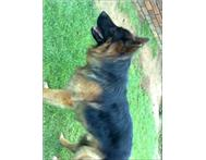 Trained German Sheperd Dog for sale.