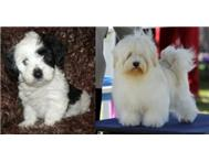 KUSA REGISTERABLE HAVANESE PUPPIES ...