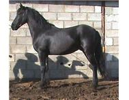 Friesian gelding for sale